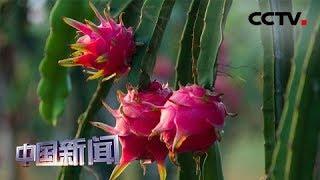 [中国新闻] 聚力脱贫攻坚 云南怒江:产业扶贫激发发展内生动力 | CCTV中文国际