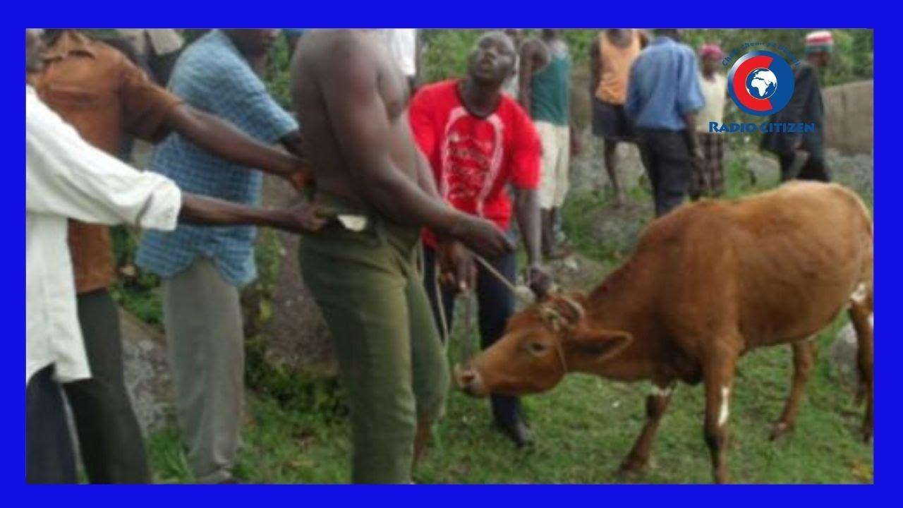 Download Mwanamume Afichua Alivyoshiriki Ngono Na Ngombe       #MamboMseto