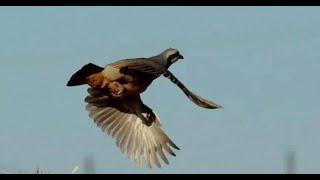 Keklİk Avi 2018-2, Stoeger M3000 , Partridge Hunt, Caza Perdiz, куропатка охота,