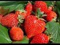Cultivo de Fresa con Sistema Tubular -...