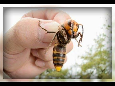 Лечим укусы ос, пчел и шершней народными средствами