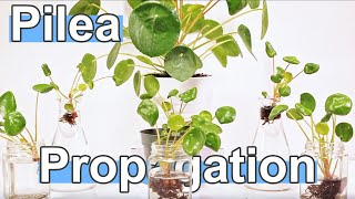 Pilea Peperomioides Propagation! Handle The Babies At Any Stage! ( How To )