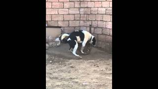Прикол с собакой сбочка тазик собака пес