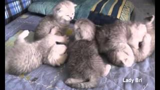 Британские и вислоухие серебристые котята  www.Ladybri.ru