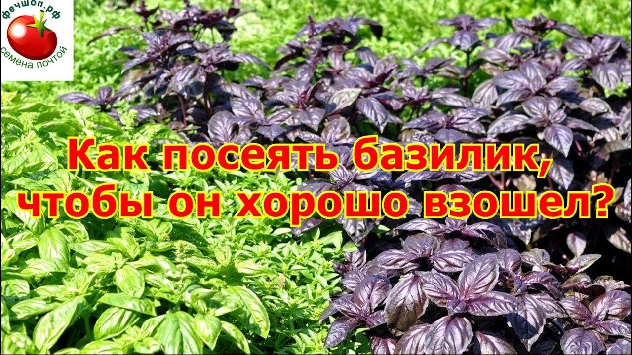 Как посеять базилик, чтобы он хорошо взошел?