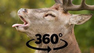 Deer Stag 360° 4K thumbnail