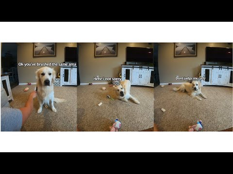 Golden Retriever likes to play with his brush