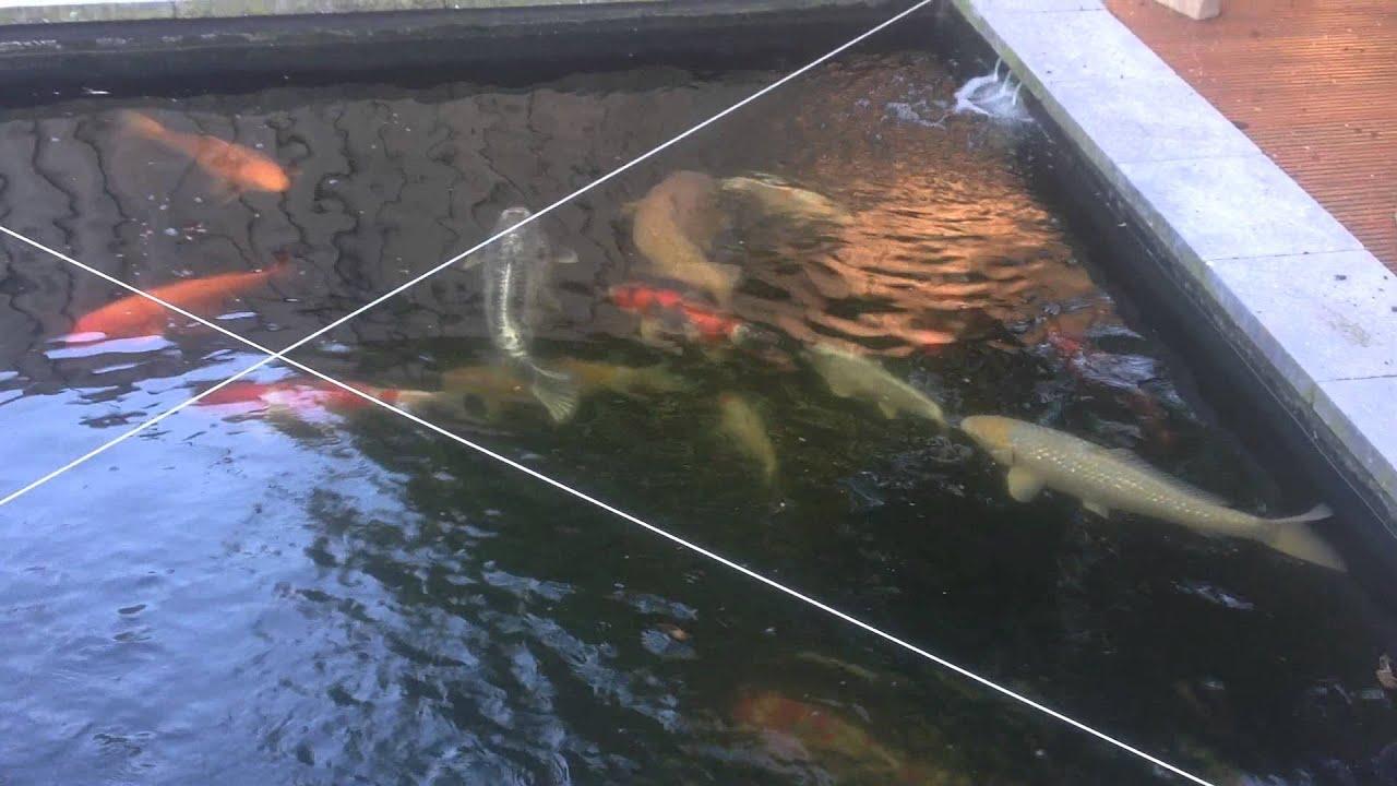 Prachtige grote koi karpers te koop ivm overlijden for Grote visvijver te koop