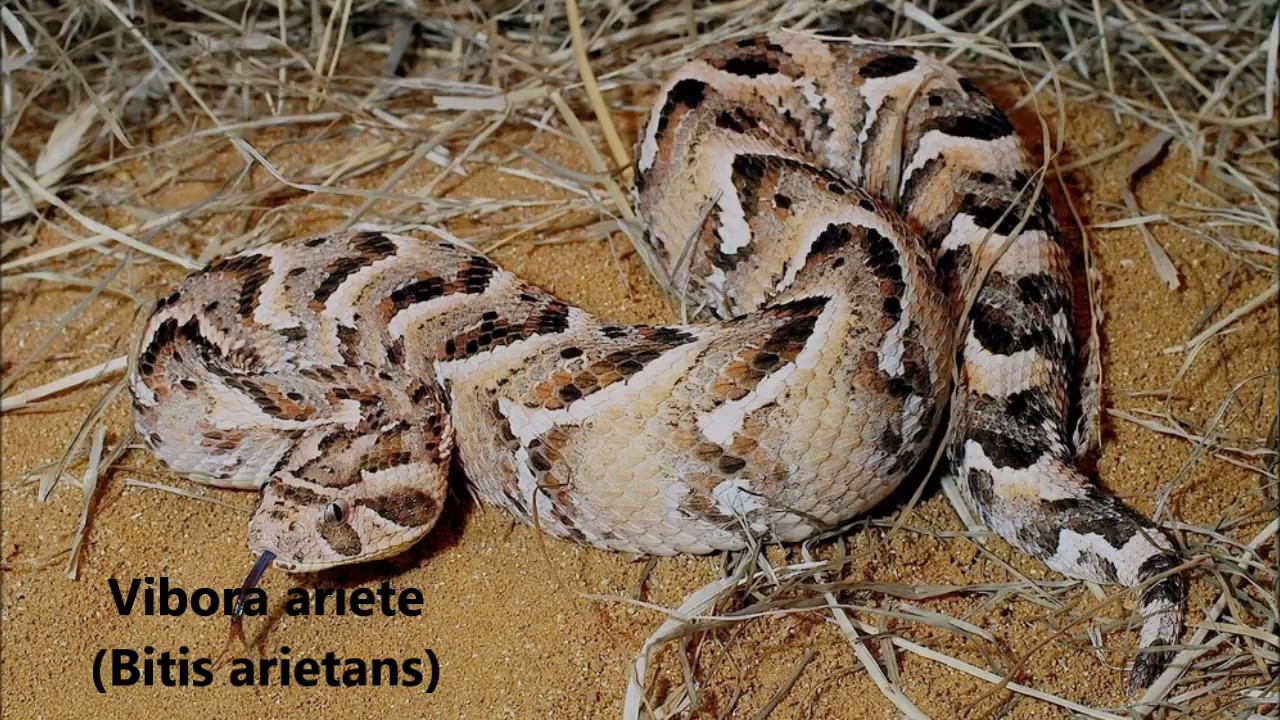 9 lugar víbora ariete bitis arietans a serpente que mais mata na