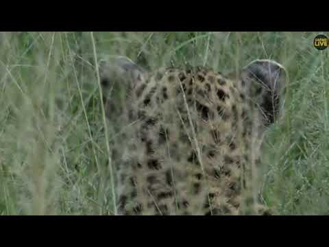 Wild Africa 16 min with Thandi she was hard to follow 12 april 2018