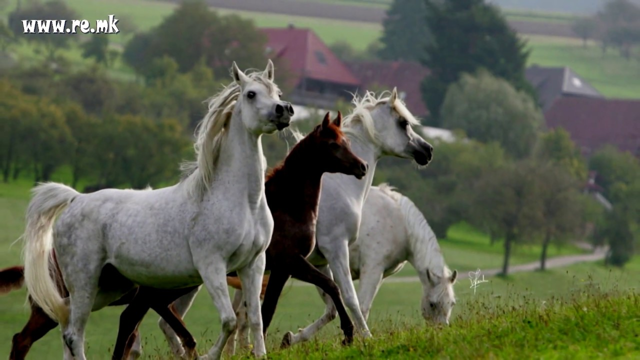 Arabian horse youtube - Arabian horse pictures ...