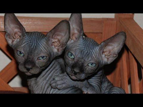 Египетская мау. Фото египетской мау. Кошки породы