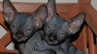 Сфинкс Кошки, Уход и Содержание, Породы кошек