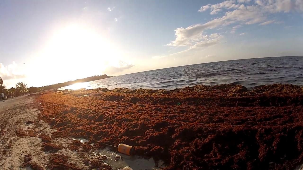 SARGAZO Playa 88 area (seaweed) Playa Del Carmen México Julio (July) 15  2019 7:15am