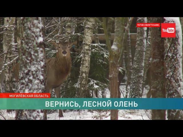Вернись, лесной олень! Лесники всерьёз задумались об увеличении популяции этих животных