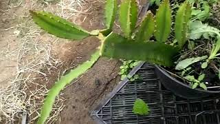New growth on the yellow palora cuttings