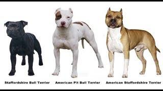 Staffbull, Pit Bull e Amstaff - Qual a diferença?