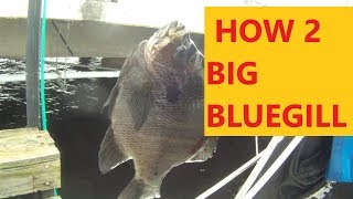 HOW 2 CATCH BIG BLUEGILLS UNDER MY PIER w/ BREAD 4 BAIT