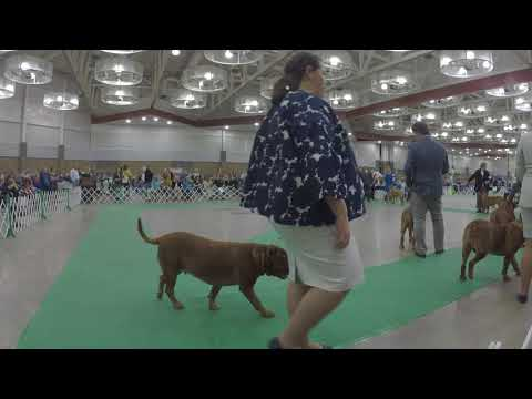 2017 Dogue De Bordeaux National Specialty Best of Breed   Female Cut