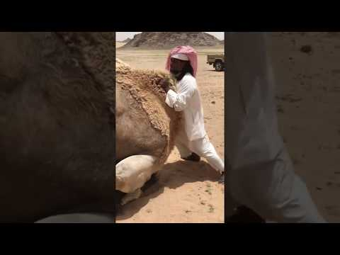 Arabic man help camel 🐫 to have sex thumbnail
