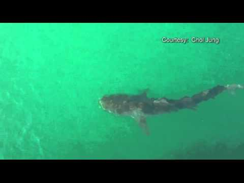 SNN:  Large Tiger Shark Spotted at Venice Pier