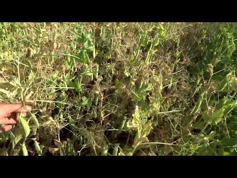 Фузариоз гороха. Урожайность поля 47 ц./га