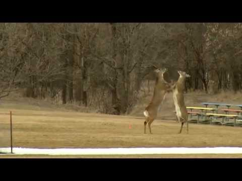 Buck Fight in Tomar Park Sioux Falls, SD