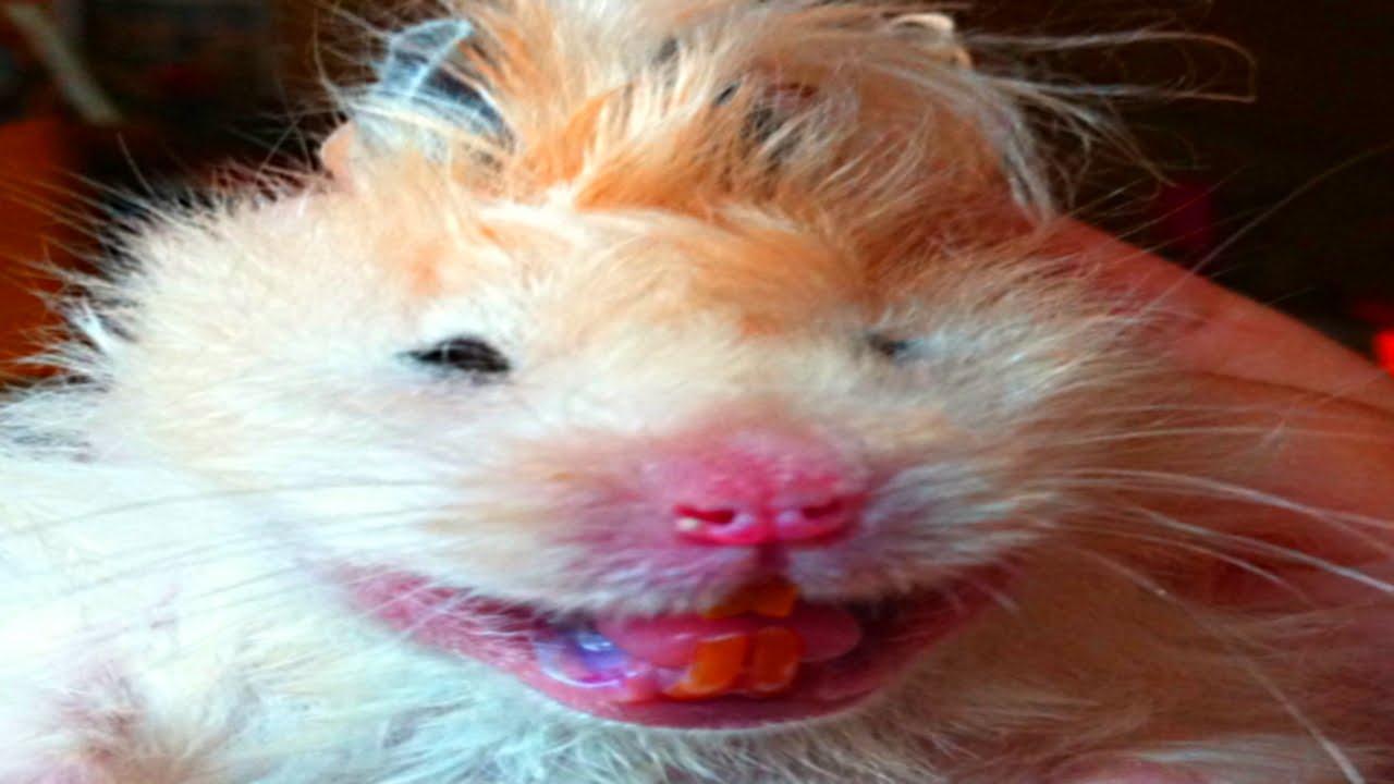Картинки по запросу смешные картинки про хомяков