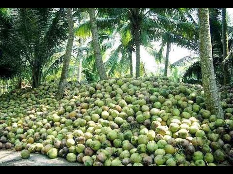 How To Farming Coconut ?- Coconut Harvesting & Farming - Amazing Coconut Tree Life Cycle