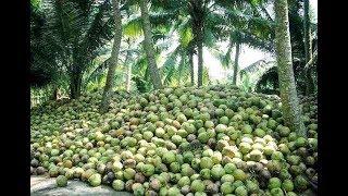 How To Farming Coconut ?- Coconut Harvesting & Farming - Amazing Coconut Tree Life Cycle