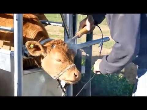 Dehorning Our Limousin Calves