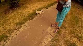 Чи хуа не хочет знакомиться и нападает на другую собаку во время вязки