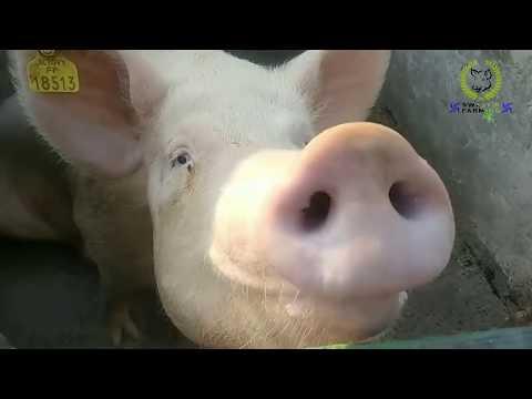 Pig Farm Visit ll Fazilka - Punjab ll Swastik Pig Farm ll Bhatner-Farm