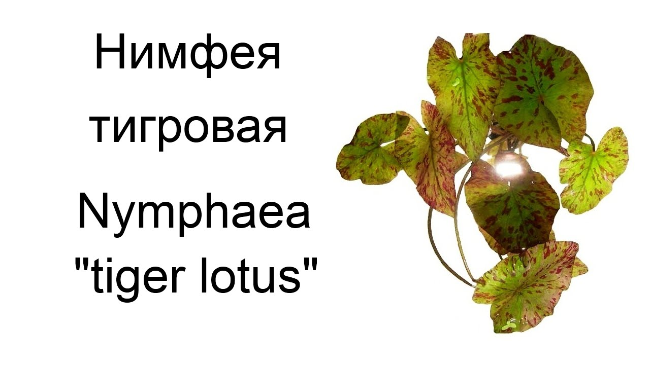 "Нимфея тигровая (Nymphaea ""tiger lotus"")"