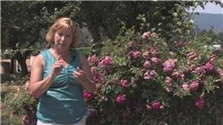 Rose Gardening : How to Grow Double Knock Out Roses