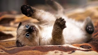 Siamese Kittens Doing Funny Things! So cute!