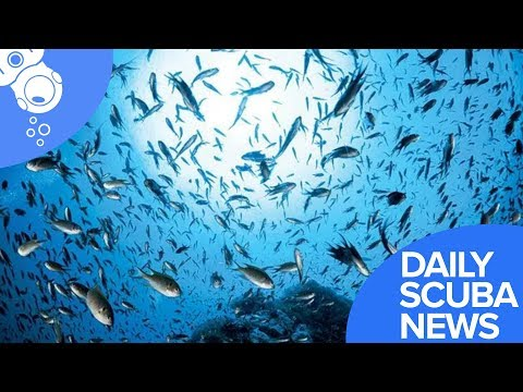 Daily Scuba News - Invasive Damselfish Explode In Gulf Of Mexico