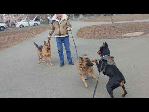 Two German Shepherds one beautiful Doberman Pinscher