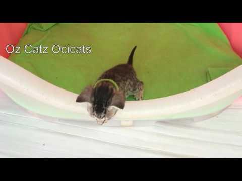 Ocicat Ozspots Cabramatta 031016 1