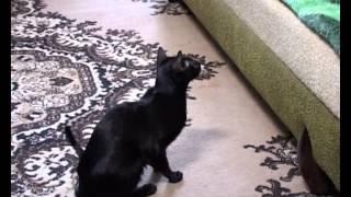 """""""Ориентальная кошка"""" передача  об ориентальной породе кошек на канале """" Домашние животные"""""""