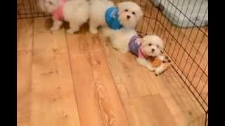 Teddy Bear Toy Maltese Dogs For Sale Toronto