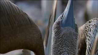 Blue-Footed Booby Bird Mating Dance | Love in The Animal Kingdom | Nature on PBS