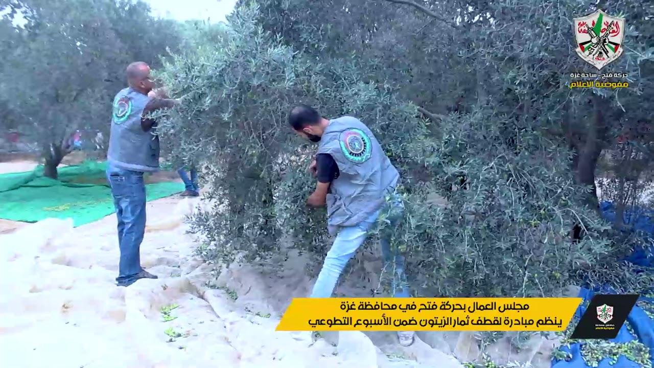 مجلس العمال بحركة فتح في محافظة غزة ينظم مبادرة لقطف ثمار الزيتون ضمن الأسبوع التطوعي.