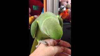Ожереловый попугай Кузя разговаривает