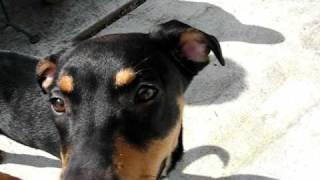 Rottweiler / Australian Kelpie Cross