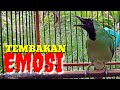 Cucak Ijo Gacor Bongkar Isian Mewah  Mp3 - Mp4 Download