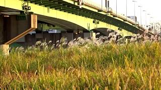 熊野前から荒川河川敷へ。ススキがきれいです。