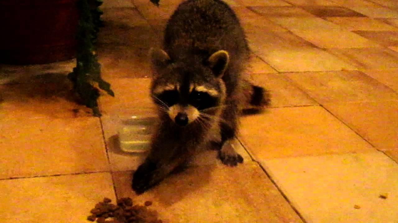 Racum Raccoon - YouTub...R Is For Raccoon