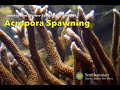 view Staghorn Coral Spawning - Smithsonian Marine Station digital asset number 1