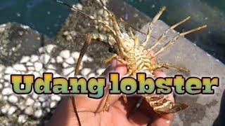 Berburu udang lobster di pemecah ombak-bareng wong Banyumas
